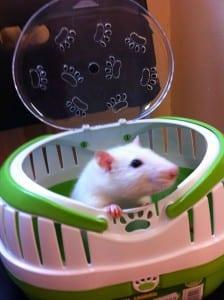 en hvit rotte oppi en boks med lokk