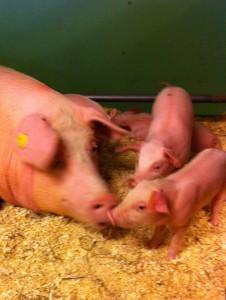grisepurke med griseunger