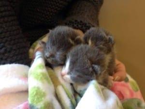 tre grå kattunger