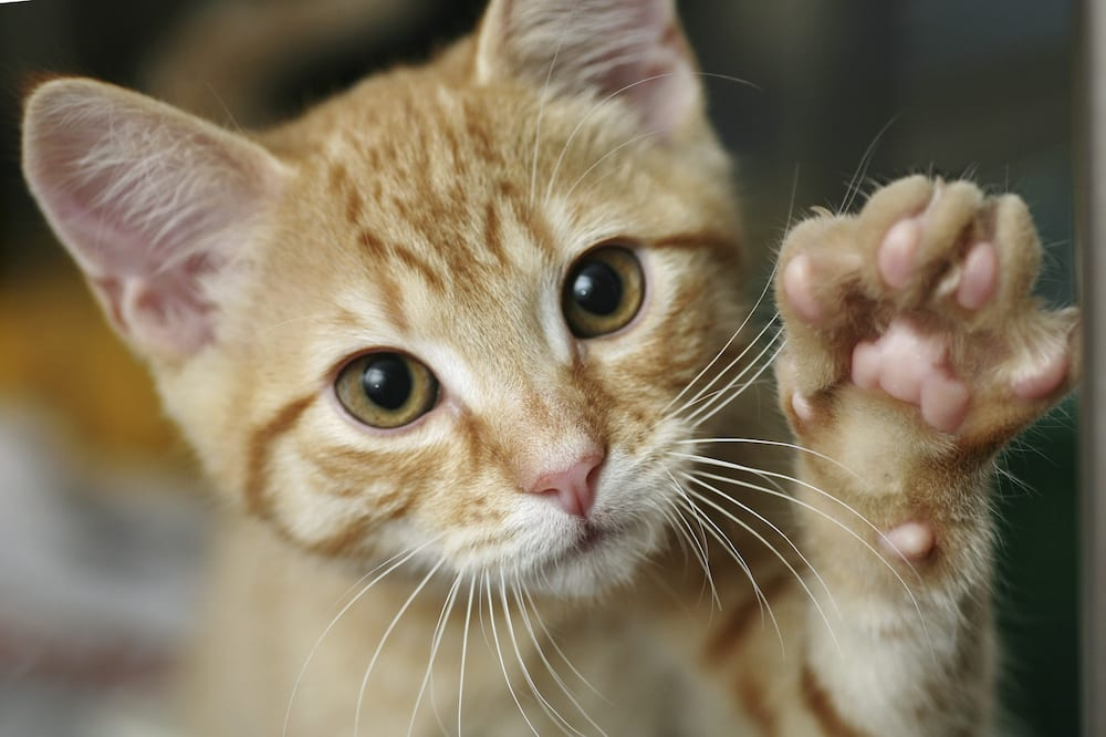cute-cat-with-paw-up