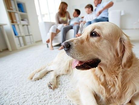 hund ligger på gulv i stue