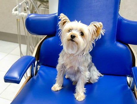 hund sitter i tannlegestol