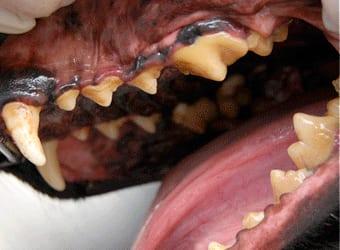 hund med tannstein